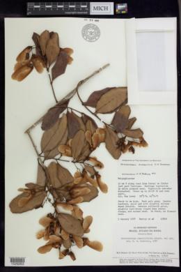 Image of Heteropterys alternifolia