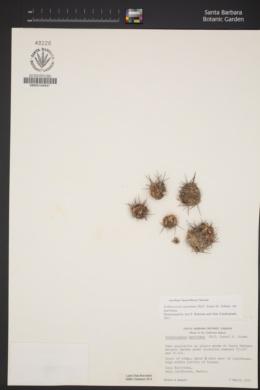 Echinocereus maritimus image