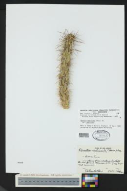 Cylindropuntia imbricata image