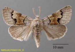 Image of Cissusa valens