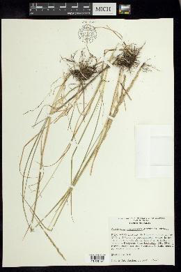 Image of Peyritschia koelerioides
