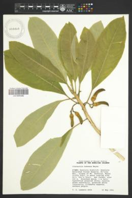 Image of Clermontia kakeana