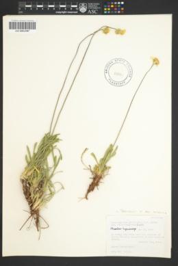 Tetraneuris acaulis var. arizonica image