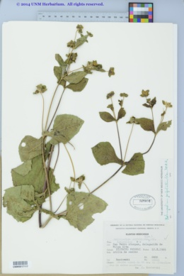 Melampodium perfoliatum image