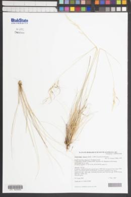 Austrostipa setacea image