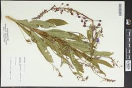 Chamaenerion angustifolium image
