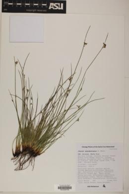 Juncus mexicanus image