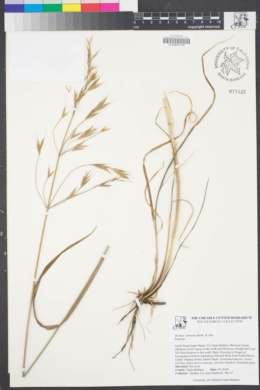 Image of Bromus carinatus