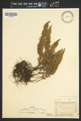 Myriopteris yavapensis image