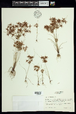 Cyperus amabilis image