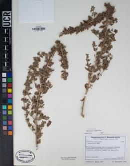 Trichostema ovatum image