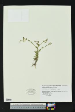 Image of Allophyllum glutinosum