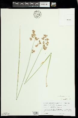 Hierochloe hirta image