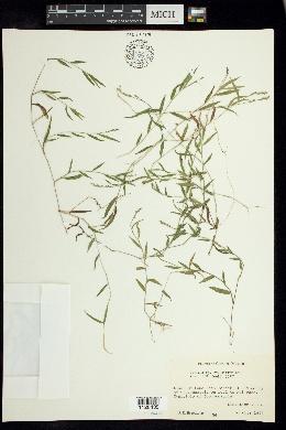 Image of Panicum hirtum