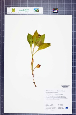Cycladenia humilis var. humilis image