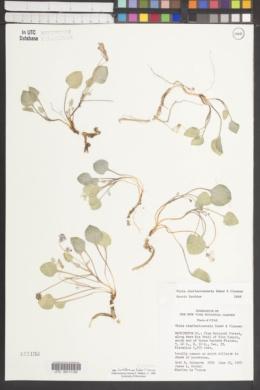 Viola charlestonensis image