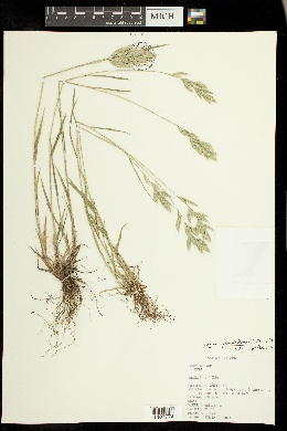 Image of Bromus pseudothominii