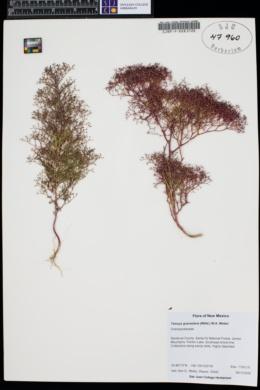 Dysphania graveolens image