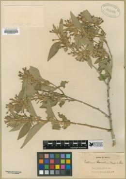 Image of Cestrum tomentosum
