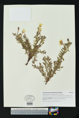 Oenothera hartwegii subsp. pubescens image