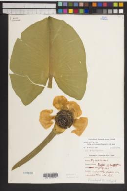 Nuphar polysepala image