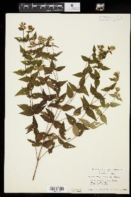 Image of Cunila origanoides