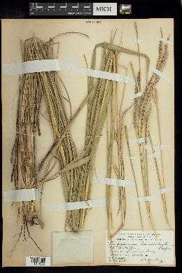 Image of Tripsacum lanceolatum