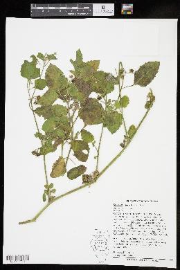 Image of Solanum sarachoides