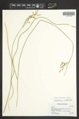 Juncus balticus subsp. mexicanus image