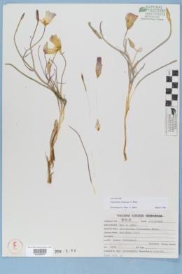 Calochortus flexuosus image