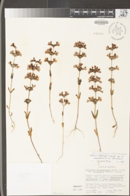 Collinsia bartsiifolia var. davidsonii image