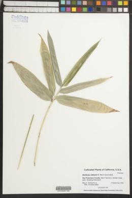 Image of Bambusa oldhamii