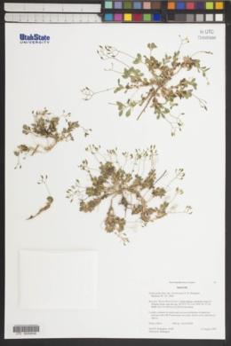Draba pedicellata var. wheelerensis image