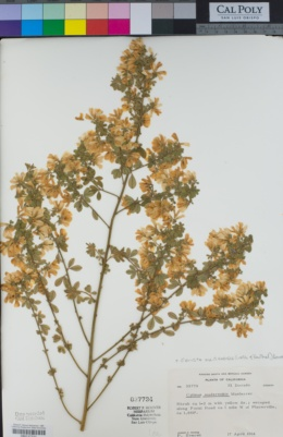 Image of Genista maderensis