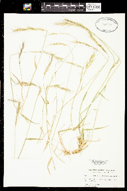 Image of Elymus sierrae