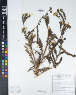Phacelia brachyloba image