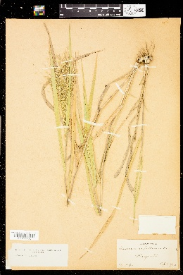Image of Panicum capillarioides