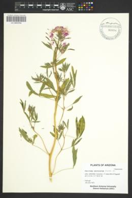 Image of Peritoma serrulatum