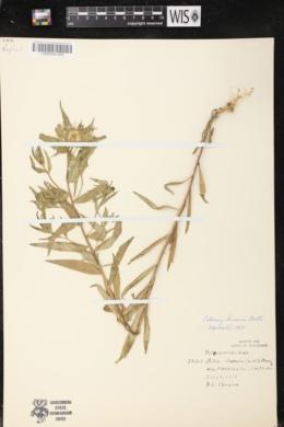 Collomia linearis image