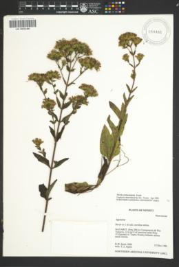 Image of Stevia caracasana