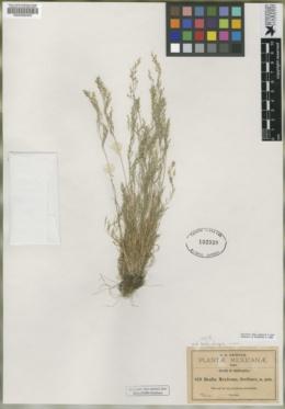 Muhlenbergia biloba image