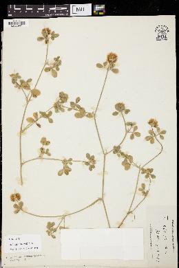 Image of Trifolium aintabense