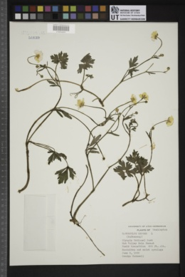 Ranunculus repens image