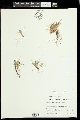 Image of Festuca hyperborea