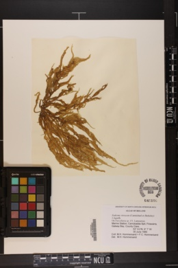 Eudesme virescens image