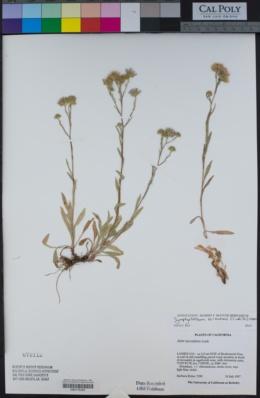 Symphyotrichum ascendens image