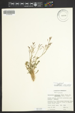 Camissonia specuicola image