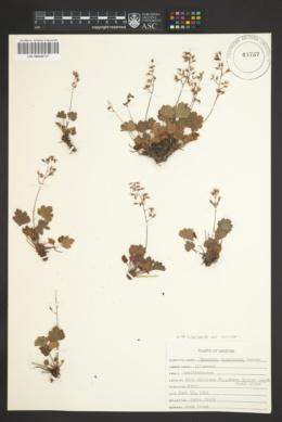 Heuchera rubescens var. versicolor image