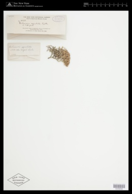 Galaxaura rugosa image