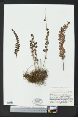 Astrolepis sinuata subsp. sinuata image